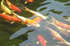 singapore-fish